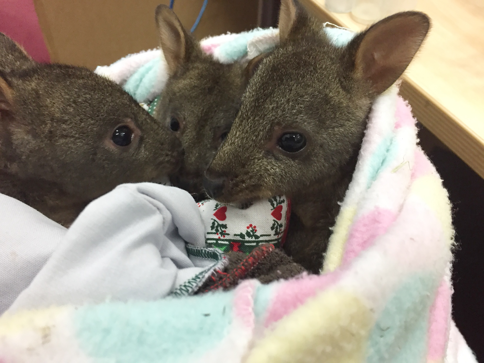 3 orphaned pademelons wrapped in a blanket