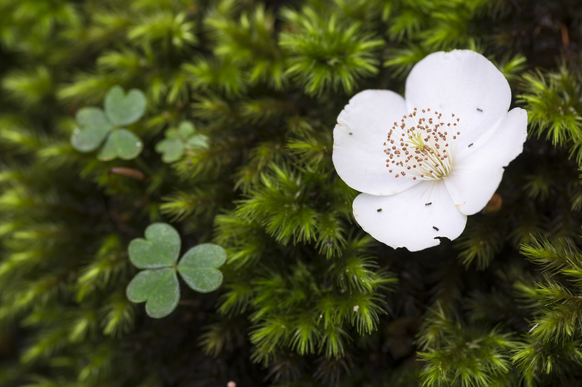 Fallen leatherwood flower (Eucryphia lucida) on moss, Lake St Clair
