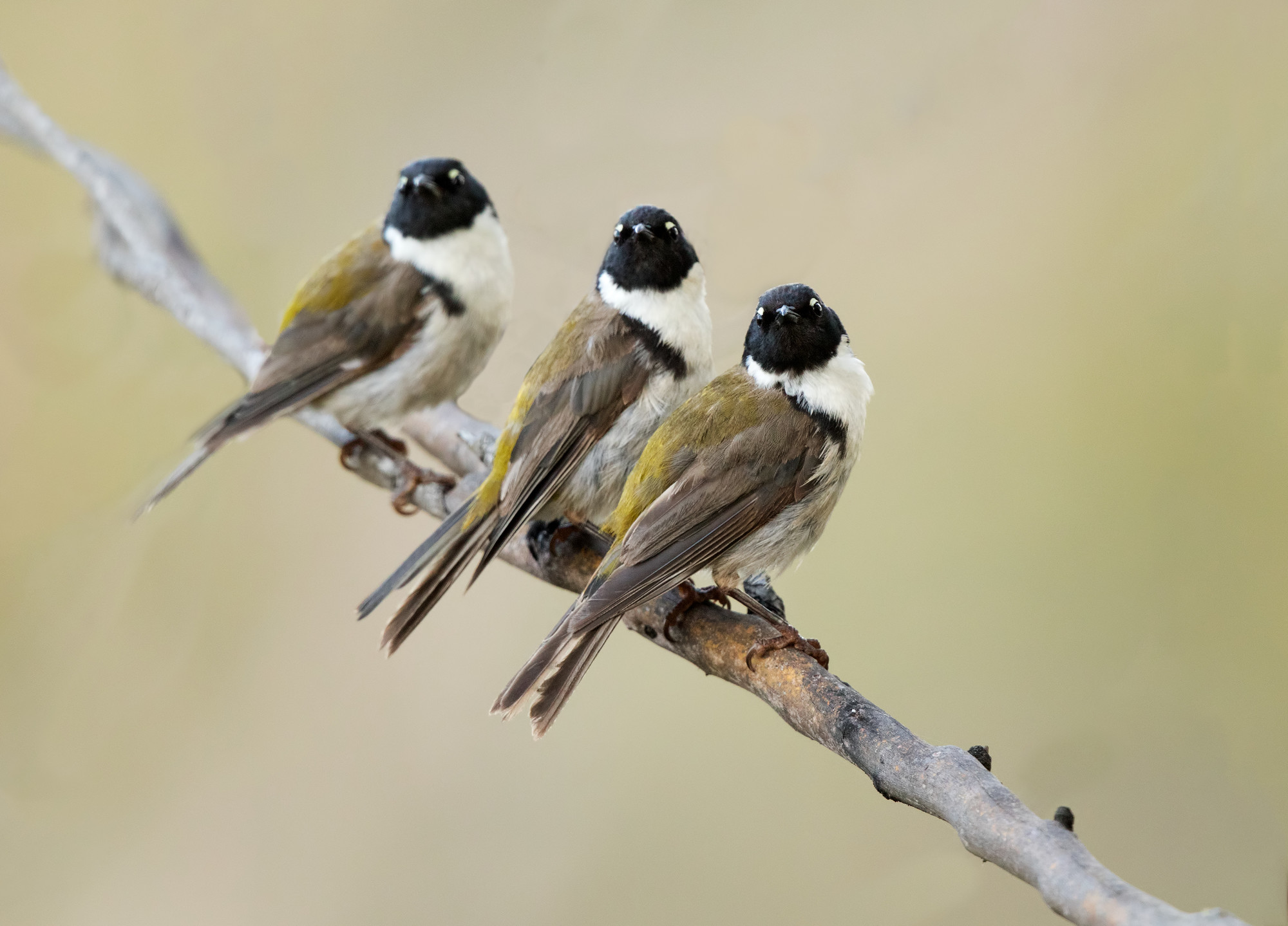 Three endemic black-headed honeyeaters (Melithreptus affinus), Bruny Island, perched on branch,