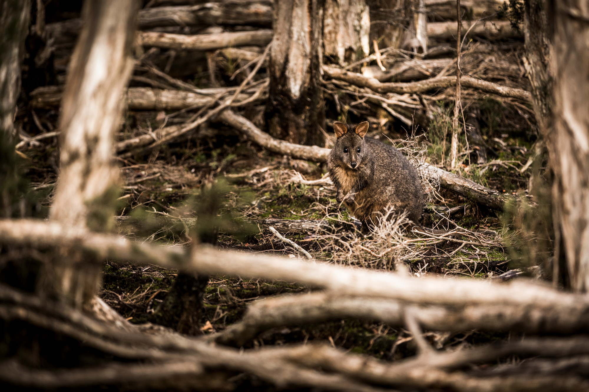 Tasmanian pademelon (Thylogale billardierii) between paperbark trees, Narawantapu National Park Bird Hide Walk.