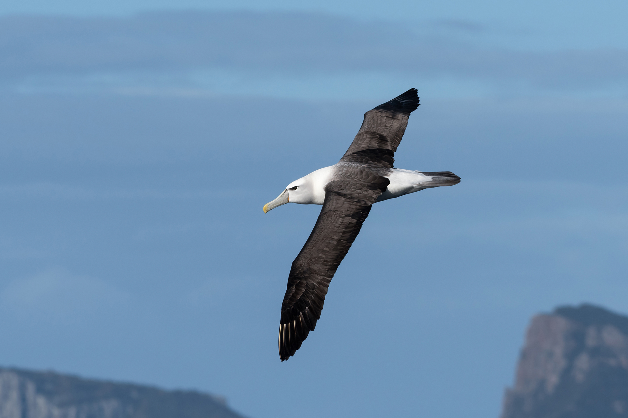 A Shy Albatross (a large seabird) flying over Tasmanian coastal waters. In the distance are coastline cliffs.