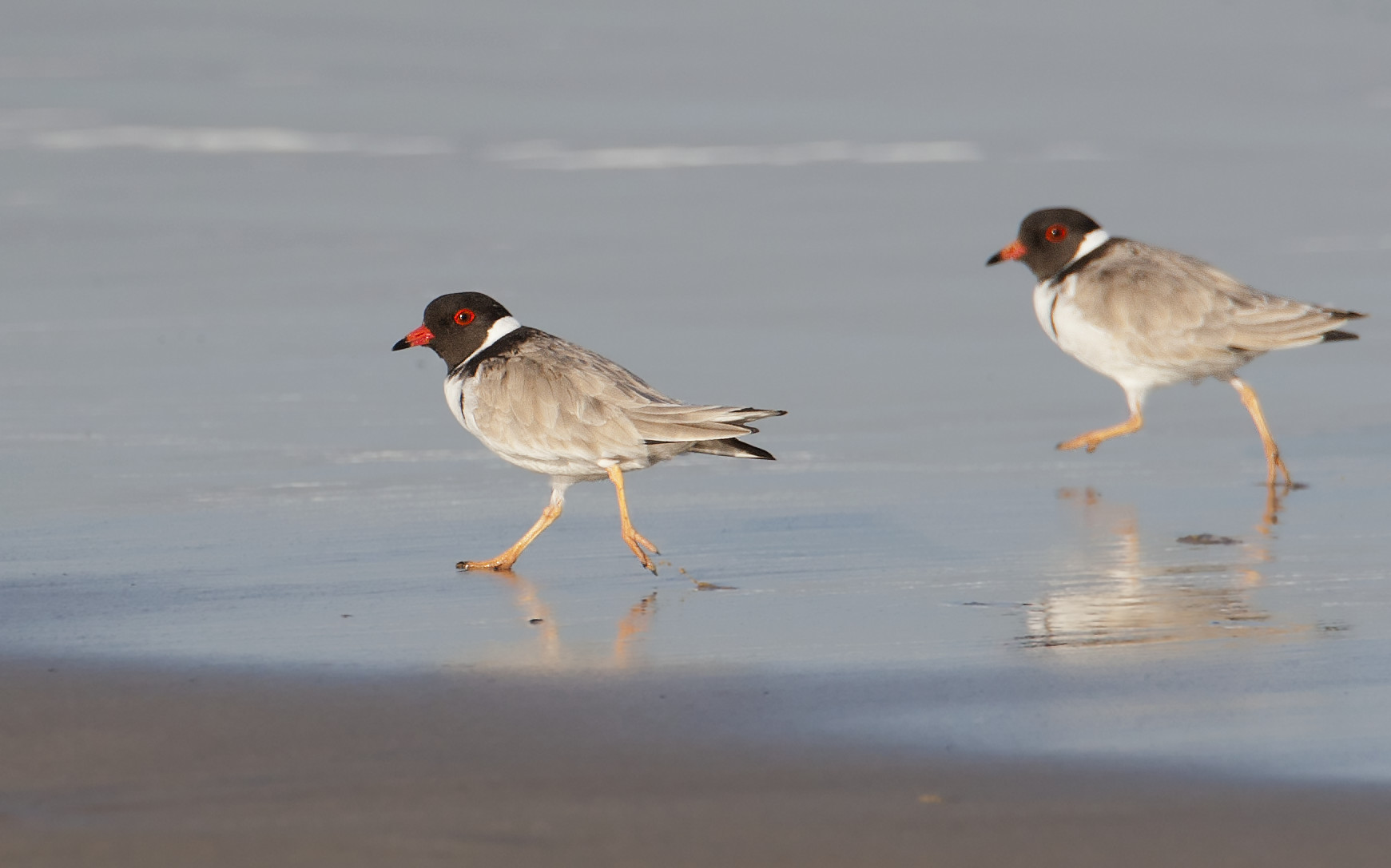Hooded plover (Thinornis rubricollis), walking on shore at low tide, Tasmania