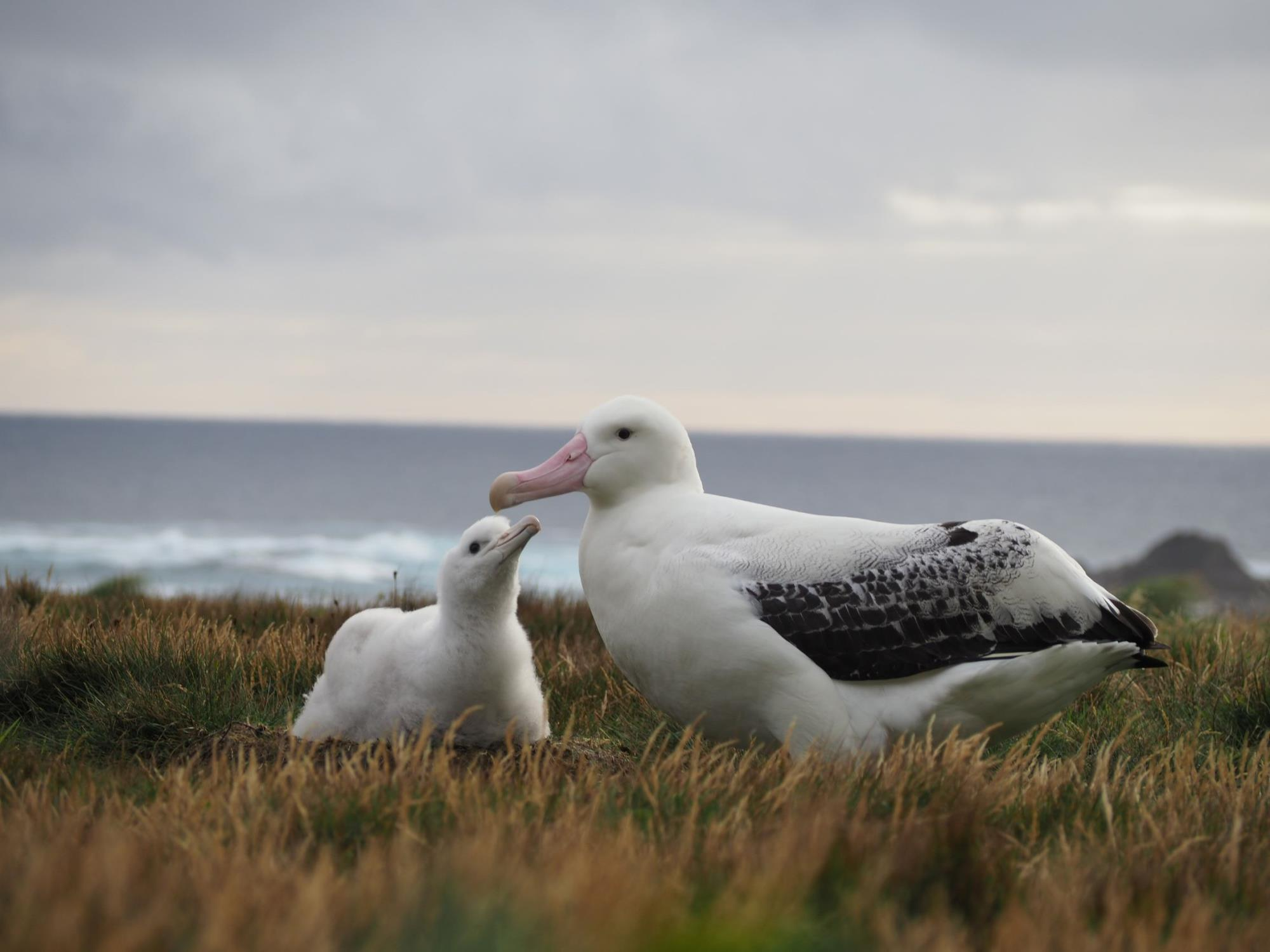 A Wandering albatross dad with his chick.