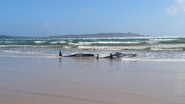 Two pilot whales stranded in a beach in shallow water at Strahan